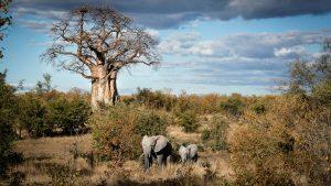 Elephant & cub - Kruger National Park