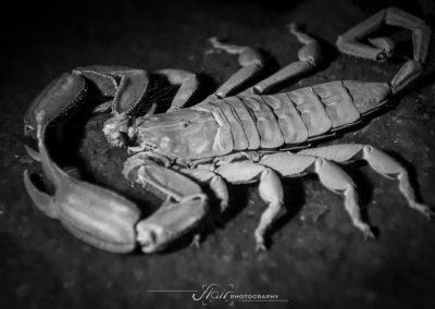 Scorpion UV invert